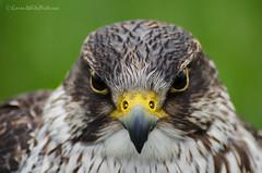 peregrine (sure2talk) Tags: falcon birdofprey peregrine portriat countryfair nikkor70300mmf4556afsifedvr nikond7000 116picturesin20169symmetry