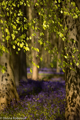Waiting for the sun (Donna Hampshire) Tags: light portrait woodland landscape ngc hampshire wildflowers bluebell beechleaves donnarobinson donnahampshire