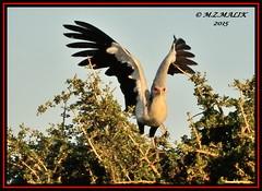 SECRETARY BIRD (Sagittarius serpentarius).....MASAI MARA......SEPT 2015 (M Z Malik) Tags: africa nikon kenya wildlife ngc safari kws masaimara d3x exoticafricanbirds exoticafricanwildlife 200400mm14afs