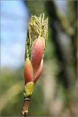 Bursting Out (Mabacam) Tags: tree london nature spring richmond surrey kingston bud teddington 2016