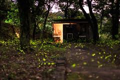 _IMG_7831 (Len) Tags: taiwan  firefly ef50mmf18ii fireflies 6d 518   xizhi sijhih    newtaipeicity