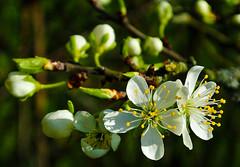 White blossoms ... (Kat-i) Tags: white macro tree primavera nature spring natur blossoms buds kati baum frhling katharina blten 2016 weis obstblte nikon1v1 knospren