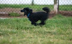 fast-poodle (hodad66) Tags: dog dogpark melbourneflorida wickhampark minoltaaf200mmf28apoghs minolta200f28 sonya7rii