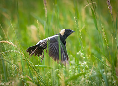 Bobolink lift off (Vic Zigmont) Tags: birds bobolink danielwebsteraudobon