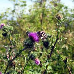 fleur avec un papillon (Pauline) Tags: fleur promenade bateau marais fier leder dars arsenr