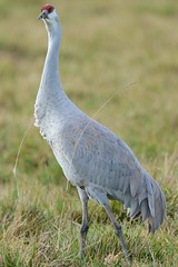 Sandhill Cranes (larryvenus) Tags: nikon statenisland sandhillcranes consumnesriverpreserve sandhillcranesflying nikond7100 tamron150600mmlens sandhillcranesdancing saramentocountybirds sanjoaquincountybirds