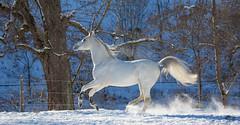 Said_20164635 (OliverSeitz) Tags: said pferd pamir schimmel hengst arabianhorses sadana i vollblutaraber hauptundlandgesttmarbach arabischepferde oliverseitz oliseitzde