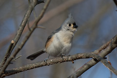 """""""Peter! Peter! Peter!"""" (Tufted Titmouse) (Jesse_in_CT) Tags: tuftedtitmouse nikon200500mm"""
