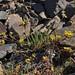 White Mountains mousetails, Ivesia lycopodioides var. scandularis