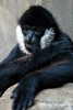White-cheeked gibbon (dpsager) Tags: dpsagerphotography lincolnparkzoo gibbon whitecheekedgibbon