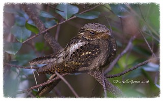 Chuck-will's-widow (Caprimulgus carolinensis) CWWI - Napping in the Daytime... (Flash off)
