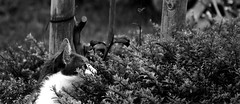 DSC_0145 (mgkm photography) Tags: blackandwhite bw blancoynegro nature monochrome cat bokeh natureza gimp pretoebranco miau catportrait blackwhitephotos nikonphotography opensourcephotography sigma50200 bokehphotography d3100