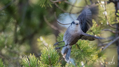 ... and off she goes | Gray Jay (anoopbrar) Tags: light red wild portrait mountain tree bird nature birds pinetree pine grey jay berries outdoor wildlife birding gray bif grayjay greyjay mountaingrayjay