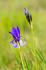 Sibirische Schwertlilie (AnBind) Tags: wien sterreich nationalpark pflanzen technik blumen motive orte makro schwertlilie 2015 lobau at