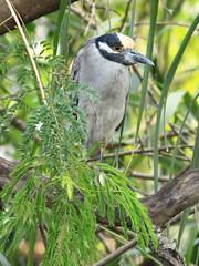 Yellow-crowned Night-Heron new 2-20160211 (Kenneth Cole Schneider) Tags: florida miramar westbrowardwca