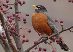 American Robin (sttweston) Tags: fz200 e17ed