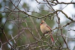 Northern Cardinal (JordanFurlan) Tags: birds cardinal crabtreenaturecenter