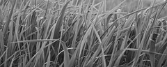 Field Grass, May 25, 2014 B&W (marylea) Tags: blackandwhite bw field grass blackwhite 2014 may25 fieldgrass