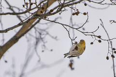Female European Siskin (2benny) Tags: winter sky tree bird female branch cielo albero inverno ramo uccello siskin ontheedge allaperto femmina flickrfriday rstasjn lucherino spinusspinus europeansiskin lucherinoeurosiatico