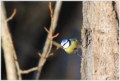 Blue Tit - Blaumeise (Cyanistes caeruleus) (Maggi_94) Tags: aves vgel bluetit vogel meise blaumeise cyanistescaeruleus paridae meisen singvogel singvgel passeri blaumeisen