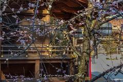 Plum Blossoms at Kitano Tenman-g in Kyoto, Today. (KyotoDreamTrips) Tags: japan kyoto ume matsuri  plumblossoms  baikasai   kitanotenmang sugawaranomichizane