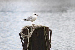 Common Gull (Esmik D'Aguiar) Tags: nottingham uk england bird nature water river lens photography pentax wildlife gull rope trent fujifilm legacy piller xt1