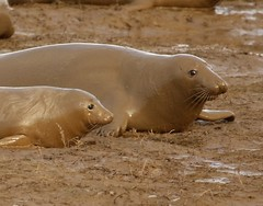 3B4A2126 (Janet-Hedger) Tags: seals donnanook janethedger