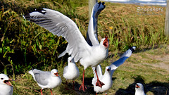_DSC5376 (dawnbordin) Tags: sea hot bird beach birds head seagull gulls flock flight cheeky chips hungry lennox