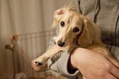 IMG_5238 (yukichinoko) Tags: dog dachshund 犬 kinako ダックスフント ダックスフンド きなこ