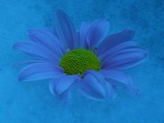 Daydream... (jo.pinkroses7) Tags: flower macro water fuji floating suds xs1