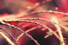 Defoliated (Maxi Winter) Tags: winter red plant color macro rot nature leaves plante rouge bokeh branches hiver natur lavender lila lilac mauve shrub 90mm twigs bltter scrub couleur strauch feuilles cotoneaster lilas zweige lifeisart