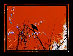 blackbird (Sonja Parfitt) Tags: tree manipulated westend layered