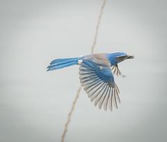 Heading for the Nest. (Omygodtom) Tags: wild bird nature outdoors nikon natural bokeh wildlife animalplanet scrubjay d7100 nikon70300mmvrlens