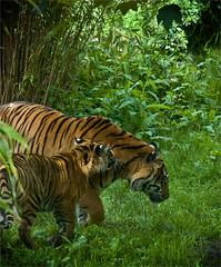 MOTHER LEADING THE WAY (Des Hawley. Over 1.7 million views !!) Tags: beautiful animal cub nikon outdoor gorgeous tiger jungle predator magnificent bigcats carnivore d300 platinumpeaceaward deshawley thegalaxyhalloffame