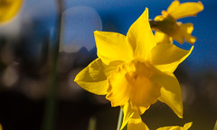 Yellow and blue (Steve-h) Tags: flowers blue ireland winter dublin sun sunlight black green nature sunshine yellow contraluz gold shadows bokeh blossoms sunny bluesky shade february narcissi daffodils allrightsreserved backlighting contrajour 2016 canoneos5dmkii steveh canonef100mm400mmf45f56lisusm