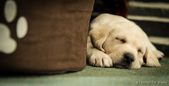 BRAMBLE - 16th Feb 2016 (TAZ BRADLEY) Tags: puppy nikon labrador yellowlab 28mm pup fx afs bramble puppylove dcp labradorpuppy d4s nikonfx afsnikkor24120mm14ged nikond4s