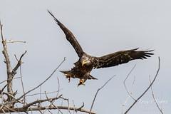 Juvenile Bald Eagle struggles to land - 18 of 27