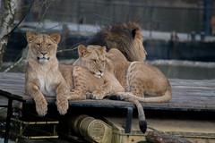 Afrikaanse Leeuw (pclaesen) Tags: cats zoo nederland bigcat predator beeksebergen dierentuin africanlion nikond3200 hilvarenbeek roofdier raubtiere afrikaanseleeuw pantheraleoleo nikkor55300