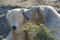 """Blow in my ear and I'll follow you anywhere, big boy."" (ucumari photography) Tags: ucumariphotography anana polarbear ursusmaritimus osopolar ourspolaire oursblanc oso bear animal mammal nc north carolina zoo eisbär ísbjörn orsopolare полярныймедведь dsc8663 specanimal 北極熊"
