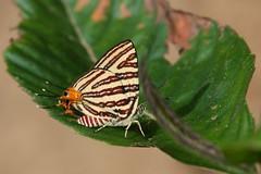 Long-banded Silverline (Spindasis lohita) (moloch05) Tags: malaysia taman negara