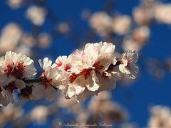Almond blossom close up (Alejandro Hernández Valbuena) Tags: flowers blue trees summer sky holiday tree nature garden spring shine blossom almond clean almonds springtime useful intens