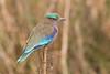 Carraca India (ik_kil) Tags: india birds roller assam kaziranga coracias indianroller coraciasbenghalensis birdsofindia kaziranganationalpark carracaindia estadodeassam