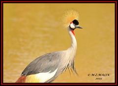 ADULT GREY CRESTED CROWNED CRANE BIRDS (Balearica regulorum)......NAIROBI NAT. PARK......SEPT 2015. (M Z Malik) Tags: africa nikon kenya wildlife ngc safari npc nairobinatpark d3x exoticafricanbirds exoticafricanwildlife 200400mm14afs