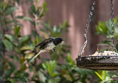 Coasting to Lunch (Gabriel FW Koch) Tags: motion bird nature canon outside eos flying spring wings movement dof zoom action bokeh outdoor eating wildlife junco ngc birdfeeder floating seeds telephoto dining springtime nesting songbird ncg coasting