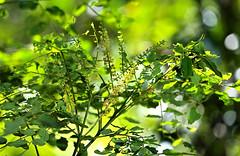 Adenanthera pavonina flowers (Xylopia) Tags: mimosaceae redbeadtree arfp adenantherapavonina adenanthera qrfp arfflowers yellowarfflowers tropicalarf lowlandarf cyrfp