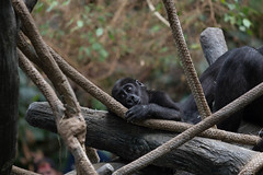 brookfield zoo. august 2015 (timp37) Tags: world summer baby zoo illinois gorilla august brookfield tropic 2015