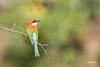 Chestnut Headed Bee-eater (Navaneeth Kishor) Tags: bird birds beeeater passerine birdsofindia chestnutheadedbeeeater passerinebird birdsofkerala discoverplanet discoverplanetinternational