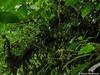 Anguloa eburnea (orquídea cuna de venus) floreciendo in situ en epífita en su habitat super húmedo (Distribución : Colombia, Ecuador y Perú desde 1500 hasta2500 m snm), Putumayo, Colombia (David Haelterman) Tags: nature naturaleza wilderness america amérique americadelsur sudamerica southamerica amériquedusud tropicos tropiques tropics orchid orchidée orquídea orchidaceae plant planta plante flor fleur flower