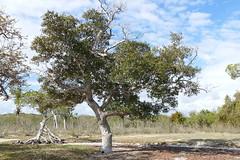 Avicennia marina ssp. australasica (Ben Caledonia) Tags: mangrove nouvellecalédonie newcaledonia palétuvier