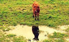 Reflexo animal (verridário) Tags: reflection green nature water animal espelho mirror reflex alone image spiegel sony natura pasto reflect uno prado reflexion reflexos poça coutryside mondego charco erva bovino riflessione réflexion отражение 反射 pastar riflettere